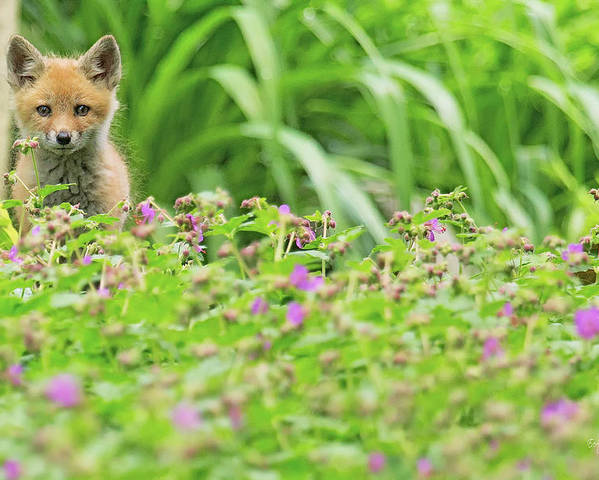 Red Poster featuring the photograph Fox In The Garden by Everet Regal