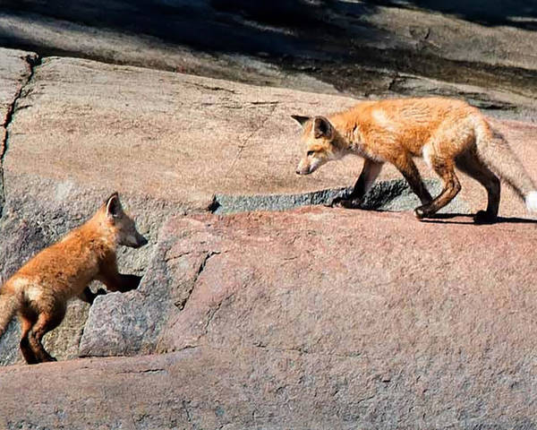 Fox Poster featuring the photograph Red Fox Playtime by Joe Granita