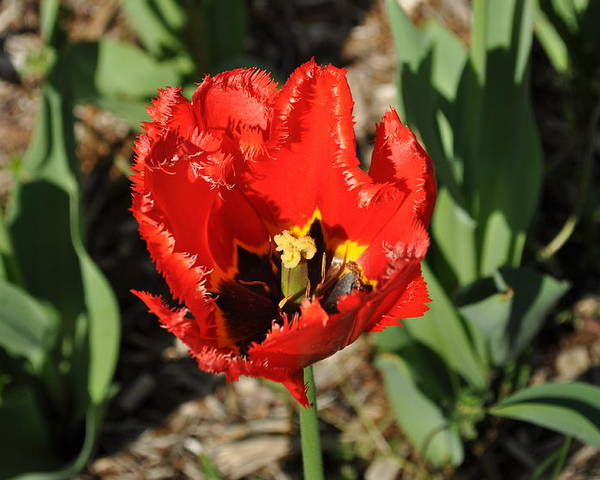 Tulip Poster featuring the photograph Frayed Tulip by Julia McHugh