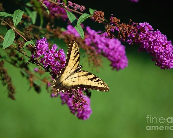 Butterfly Poster featuring the photograph Freedom by Debbi Granruth