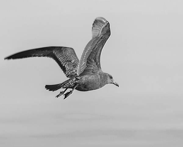 Bird Segul Fly Flight Animal B&w Black White Poster featuring the photograph Freedom Of Flight by Ryan Crane