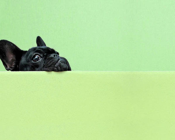 Horizontal Poster featuring the photograph French Bulldog Puppy by Retales Botijero