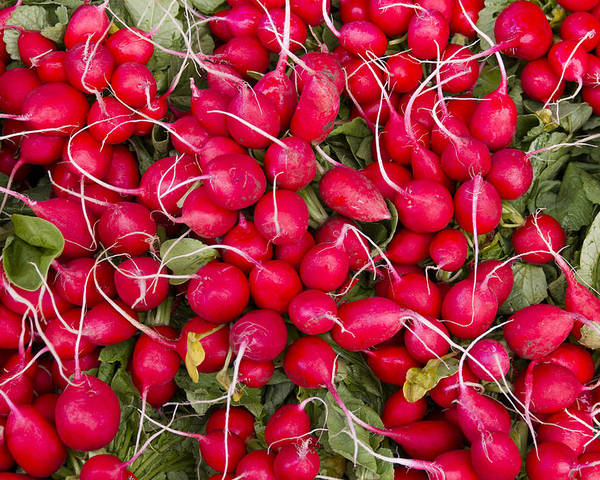 Agriculture Poster featuring the photograph Fresh Red Radishes by John Trax