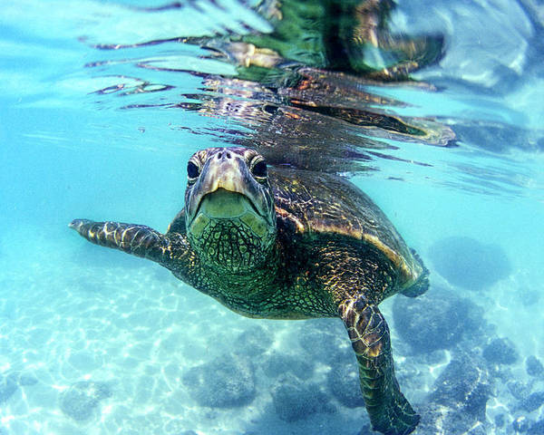 Friendly Poster featuring the photograph friendly Hawaiian sea turtle by Sean Davey