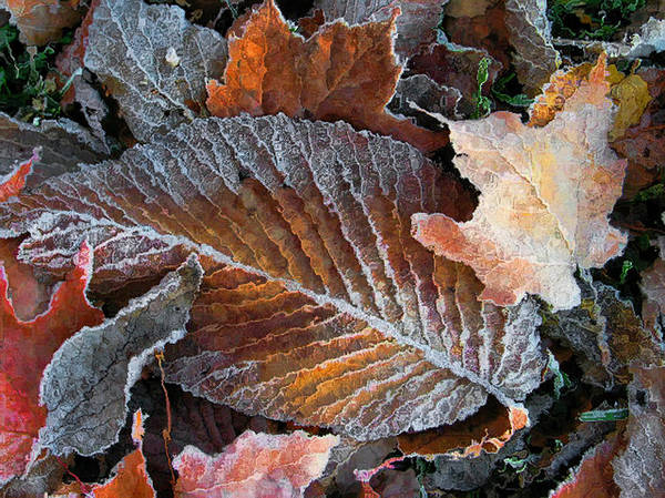 Leaves Fall Autumn Orange Red Brown Photograph Photography Photographer Poster featuring the photograph Frosted Painted Leaves by Shari Jardina