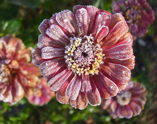 Flowers Poster featuring the photograph Frosty Morning Zinnias 2 by Janet Telander