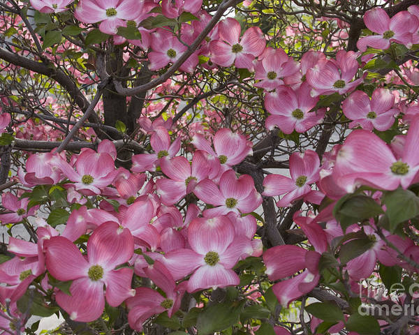 Dogwood Poster featuring the photograph Full Bloom by Idaho Scenic Images Linda Lantzy
