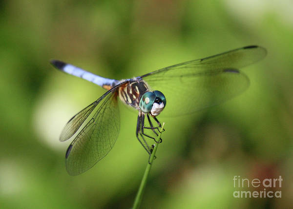 Dragonfly Poster featuring the photograph Garden Dragonfly by Carol Groenen