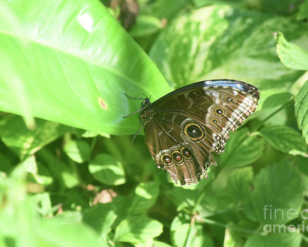 Blue-morpho Poster featuring the photograph Garden With A Blue Morpho Butterfly With Wings Closed by DejaVu Designs
