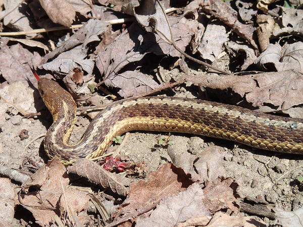 Reptile Poster featuring the photograph Garter Snake by Robert Nickologianis