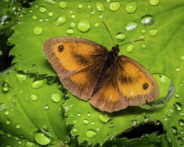 Butterfly Poster featuring the photograph Gatekeeper Butterfly After The Rain. by Colin Allen
