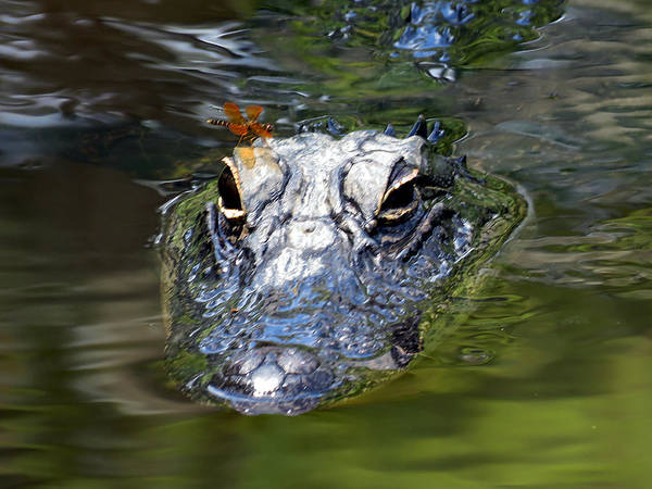 Gator Poster featuring the photograph Gator And Dragonfly by J M Farris Photography