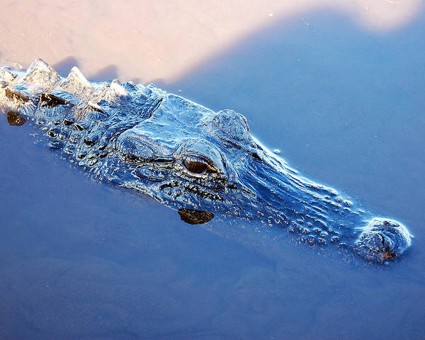 Alligator Poster featuring the photograph Gator Blues by Heather S Huston