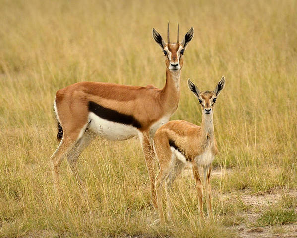 Africa Poster featuring the photograph Gazelle Mother And Child by Jack Daulton