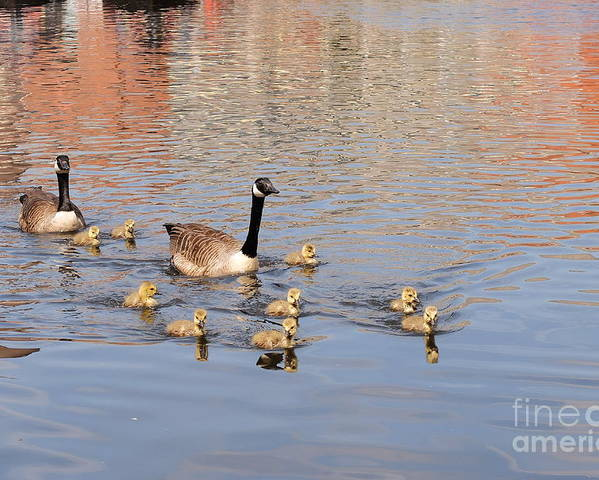 Geese Poster featuring the photograph Geese And Goslings 3 by John Chatterley