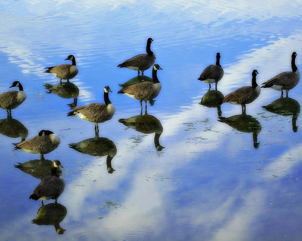 Geese Poster featuring the photograph Geese Lake Reflections by Randy Steele