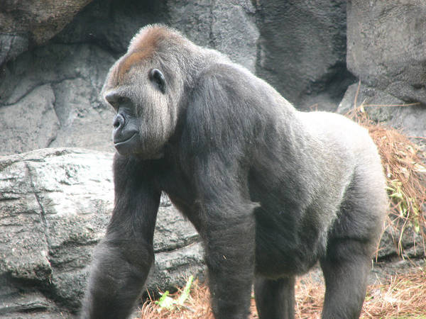 Gorilla Poster featuring the photograph Gentle Giant by Stacey May