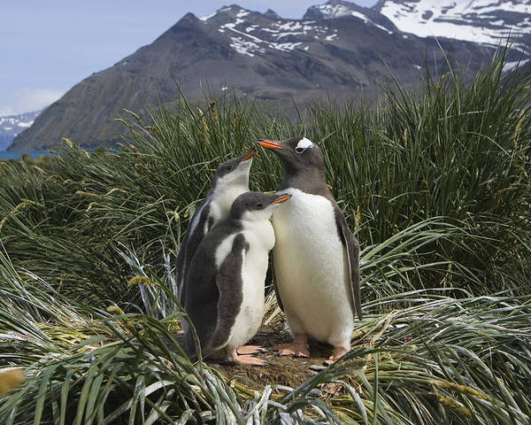 Mp Poster featuring the photograph Gentoo Penguin And Young Chicks by Suzi Eszterhas