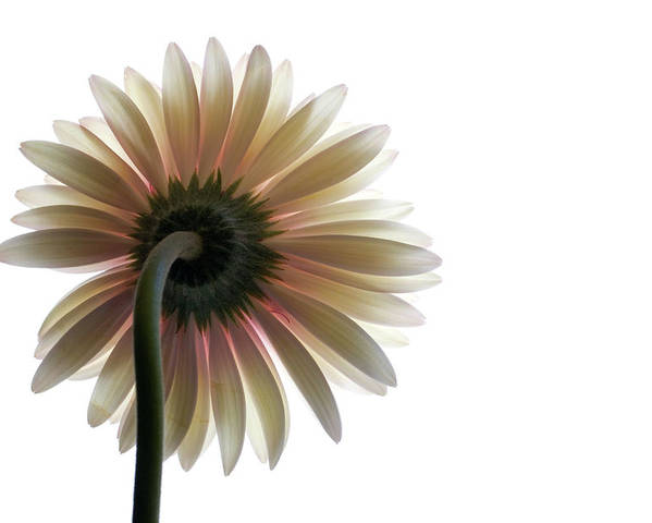 Flower Poster featuring the photograph Gerber Daisy by Jessica Wakefield