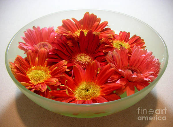 Nature Poster featuring the photograph Gerbera Daisies - A Bowl Full by Lucyna A M Green