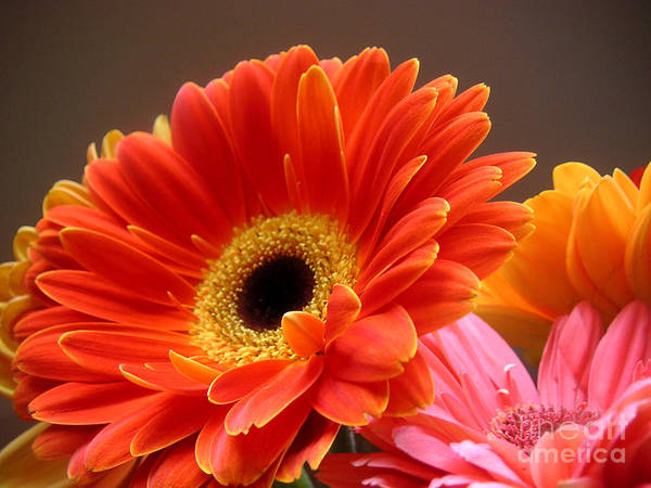 Nature Poster featuring the photograph Gerbera Daisies - Luminous by Lucyna A M Green