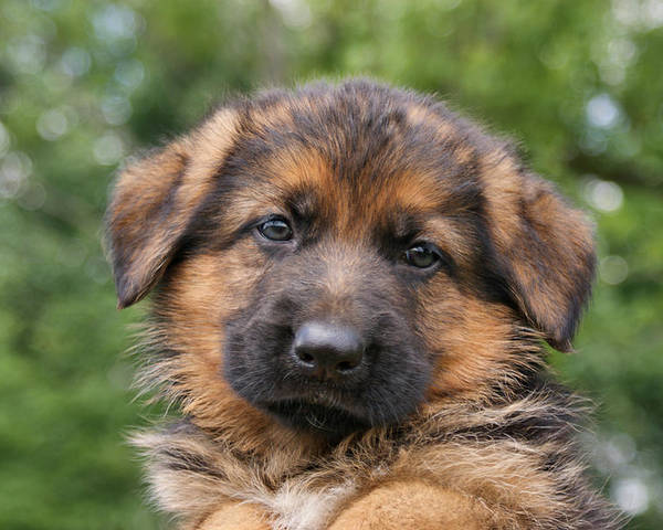 Dogs Poster featuring the photograph German Shepherd Puppy II by Sandy Keeton
