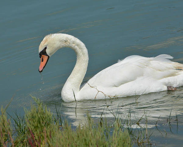Mute Swan Poster featuring the photograph Ghost In The Lagoon by Fraida Gutovich