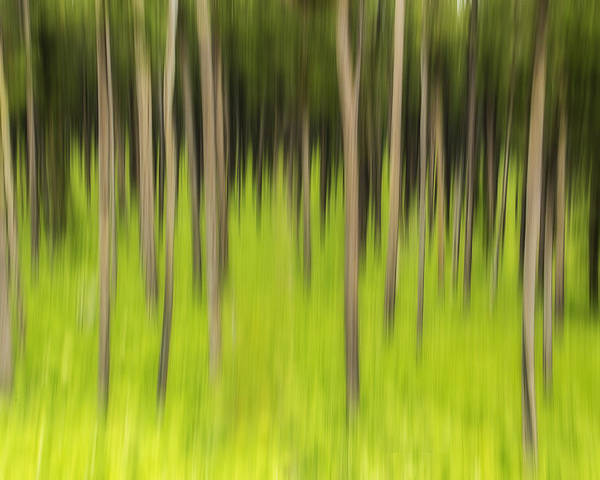 Coniferous Forest Poster featuring the photograph Ghostly Forest by John Vose