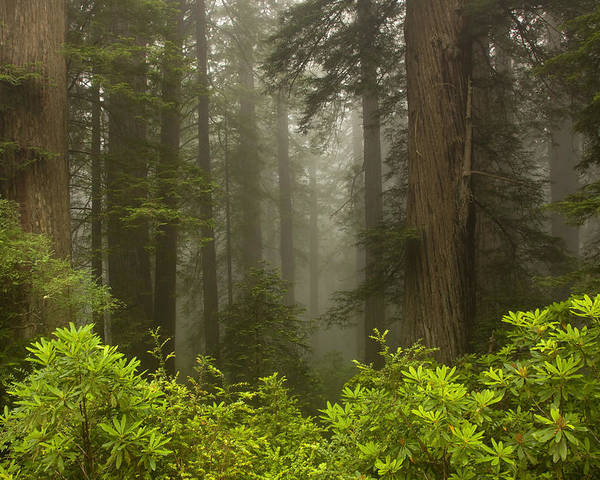 Redwood Poster featuring the photograph Giants In The Mist by Mike Dawson