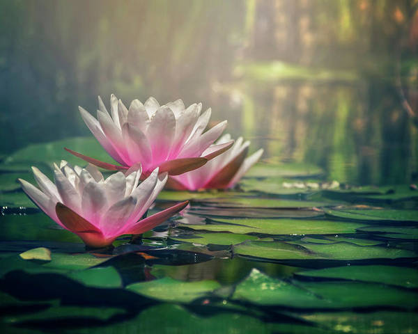 Waterlily Poster featuring the photograph Gilding The Lily by Carol Japp