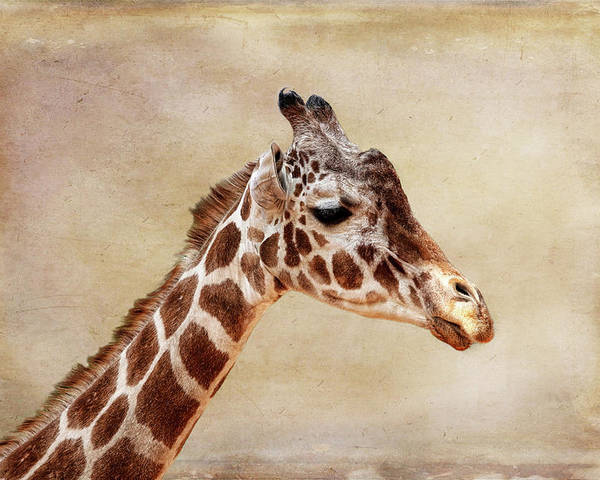 Giraffe Poster featuring the photograph Giraffe Portrait With Texture by Judy Vincent