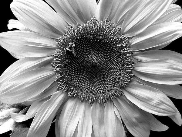 Sunflower Poster featuring the photograph Glory by Carol J Hicks