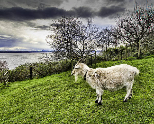 Animals Poster featuring the photograph Goat Enjoying The View by Josh Manwaring