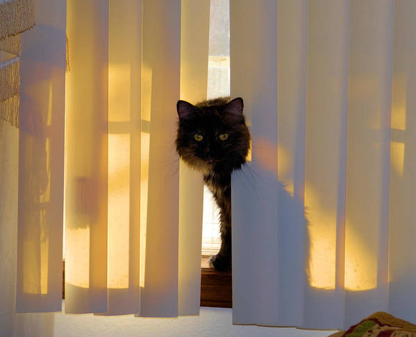 Cat Photos Poster featuring the photograph Golden Accents by Cheryl Poland