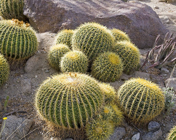 Ocotillo; Cacti; Cactus; Stickery; Spiny; Spiney; Plant; Desert; Arid; Sonora; Sonoran; Desert; Yucca; Dagger; Sisal; Echinocactus Grusonii; Rare; Endangered Golden Barrel Cactus Poster featuring the photograph Golden Barrel Cactus by Buddy Mays