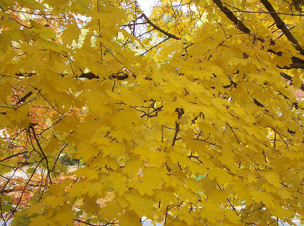 Fall Autum Trees Maple Yellow Poster featuring the photograph Golden Canopy by Karin Dawn Kelshall- Best