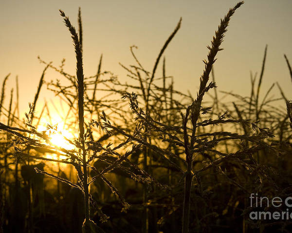 Golden Poster featuring the photograph Golden Corn by Idaho Scenic Images Linda Lantzy