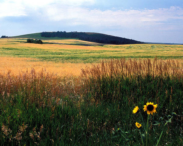Landscapes Poster featuring the photograph Golden Fields Forever by Kathy Yates