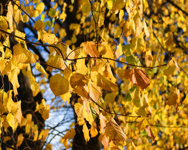 Autumn Poster featuring the photograph Golden Leaves by Carol Lynch