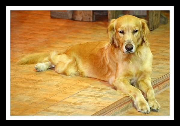 Golden Retriever Poster featuring the photograph Golden Retriever Dog by Prasanna Kakunje