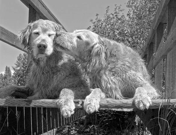 Golden Retriever Poster featuring the photograph Golden Retrievers The Kiss Black And White by Jennie Marie Schell