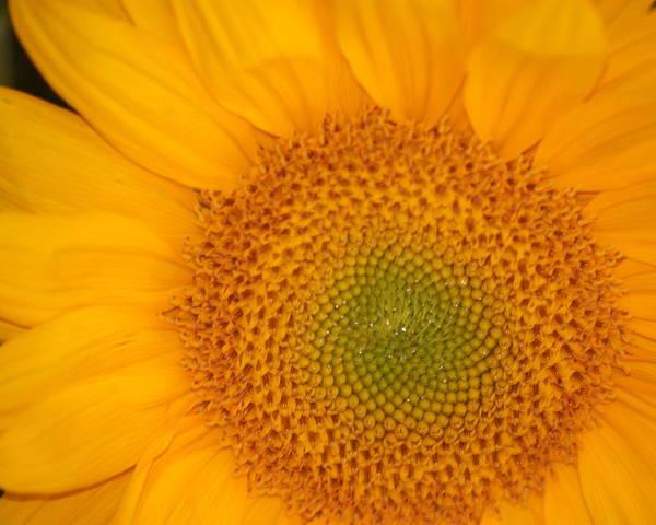 Sunflower Poster featuring the photograph Golden Sunflower by Liz Vernand