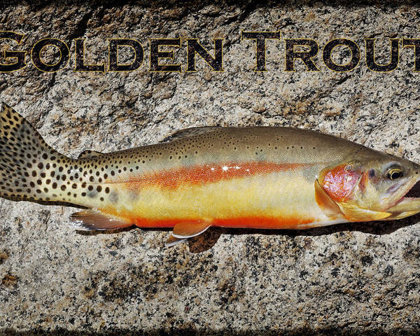 Golden Trout Poster featuring the photograph Golden Trout by Kelley King