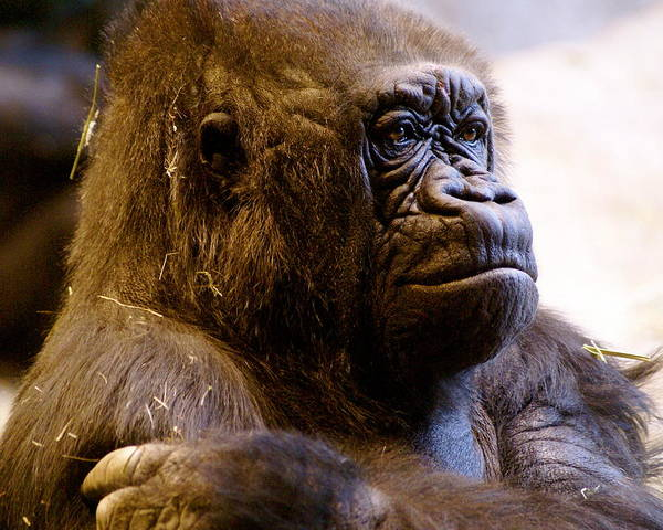 Zoo Poster featuring the photograph Gorilla Headshot by Sonja Anderson