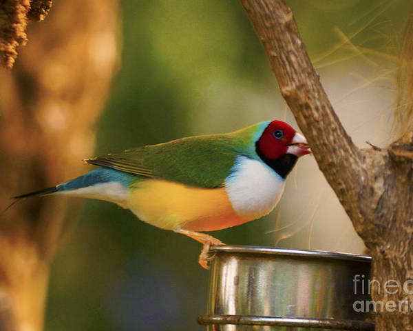 Birds Poster featuring the photograph Gouldian Finche by Jasmin Hrnjic