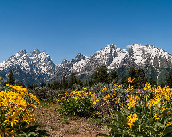 Grand Tetons Poster featuring the photograph Grand Teton Arrow Leaf Balsamroot by Brian Harig