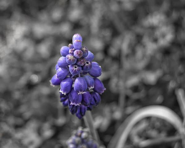 Grape Poster featuring the photograph Grape Hyacinth by Amber Flowers