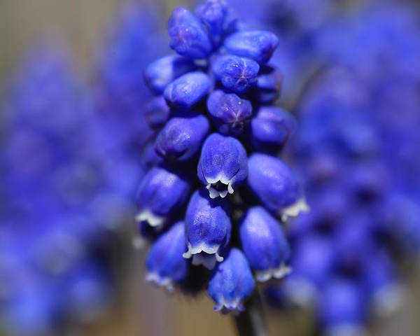 Grape Hyacinth Poster featuring the photograph Grape Hyacinth - Muscari by Donna Kennedy