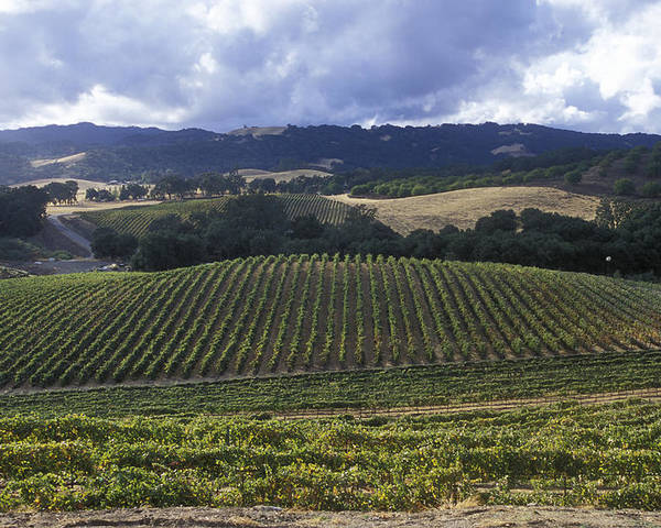 Grapevines Poster featuring the photograph Grape Vines On Opolo Vineyards by Rich Reid