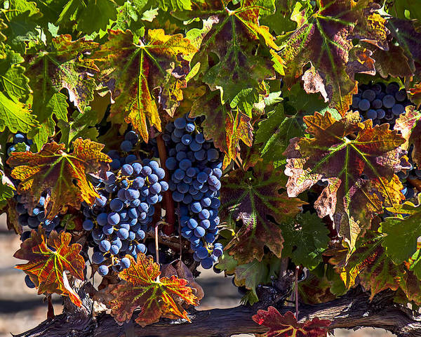 Grapes Poster featuring the photograph Grapes Of The Napa Valley by Garry Gay